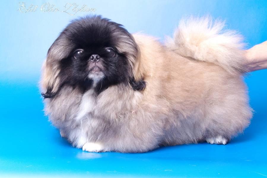 Пекинес собака. описание, особенности, цена и уход за пекинесом   животный мир