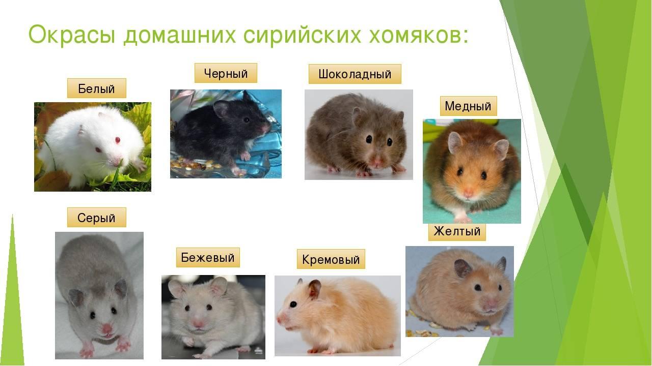 Как выглядит хомяк с фото: сколько весит хомячок, до каких размеров вырастает, средний рост и вес обыкновенного, масса домашнего и маленького грызуна