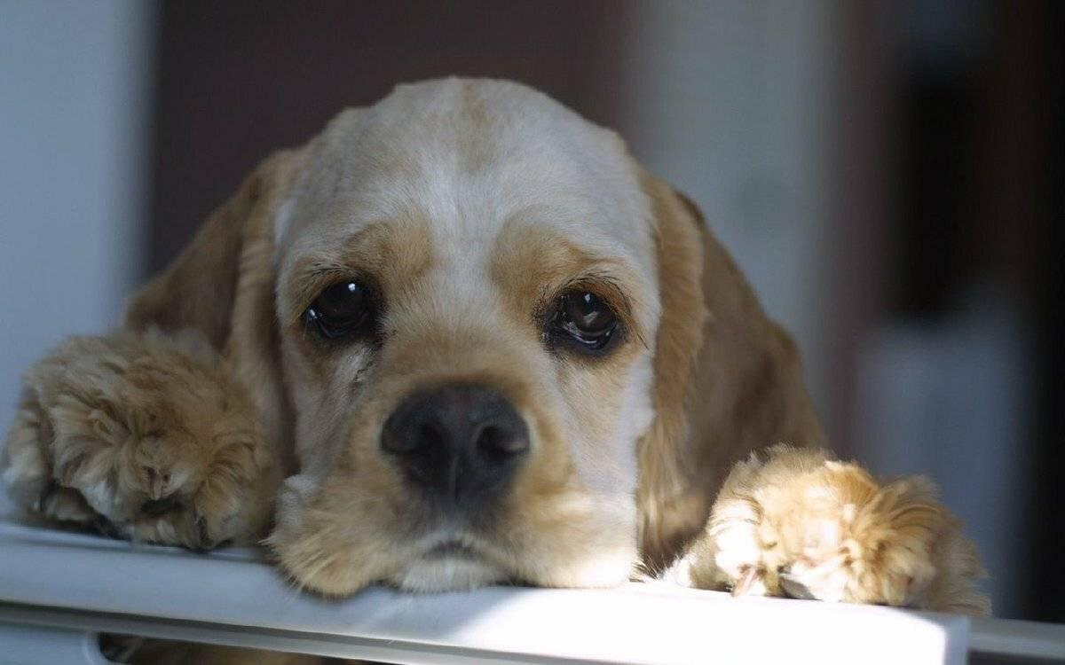 Собака плачет: могут ли и как это выглядит