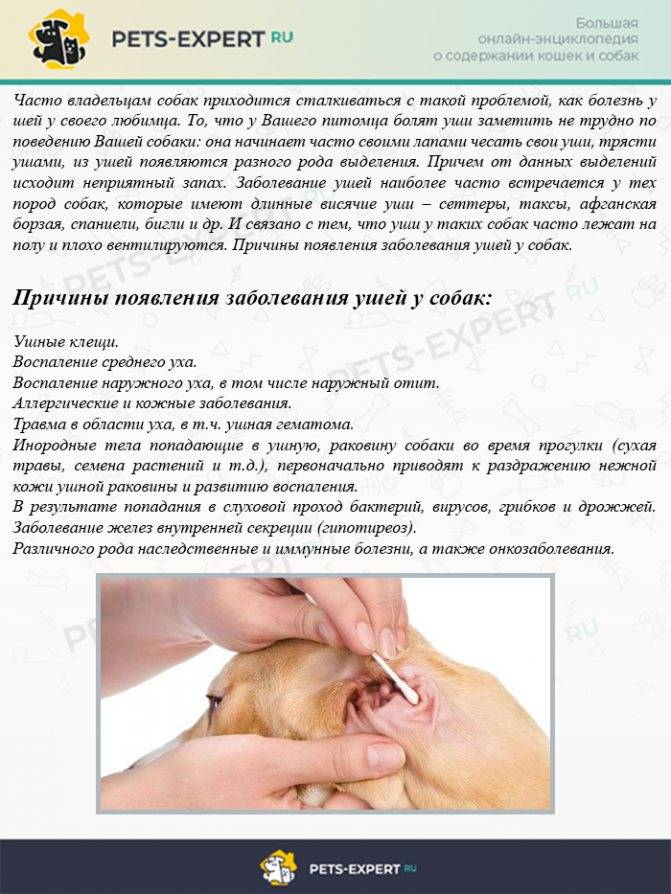Кошачий отит: симптомы и лечение