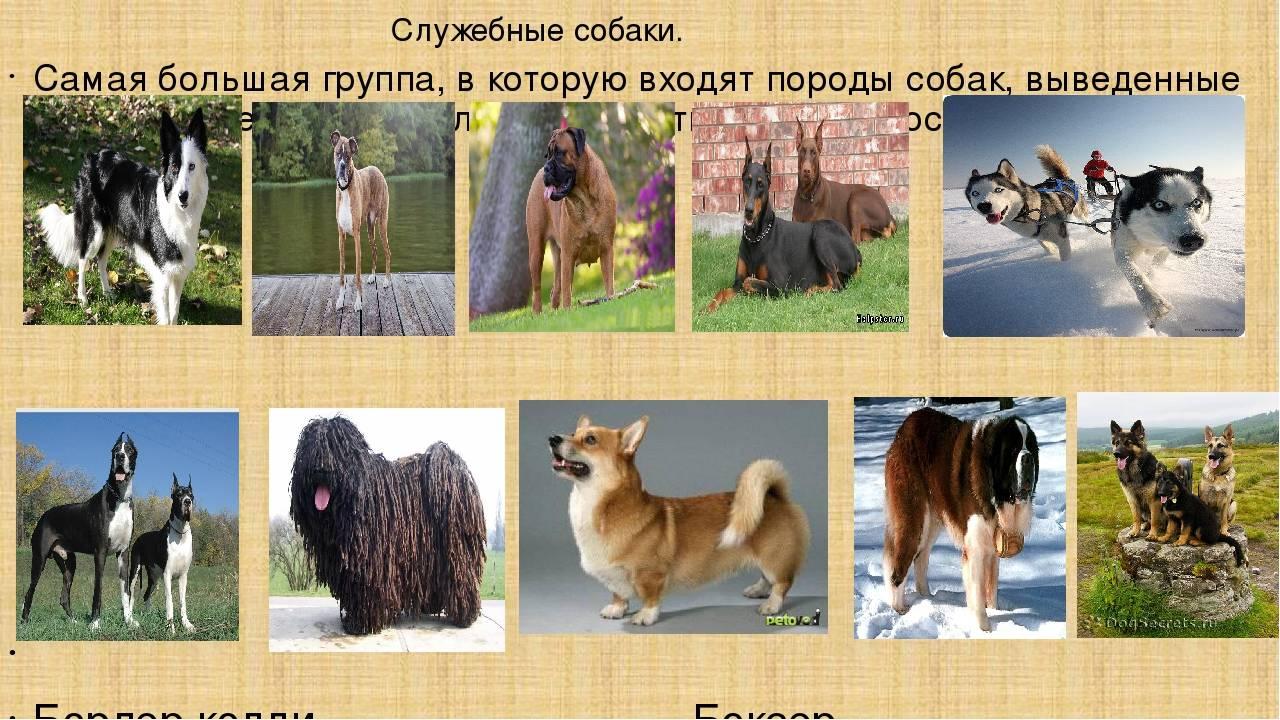 11 пород служебных собак: характеристика, описание и стоимость
