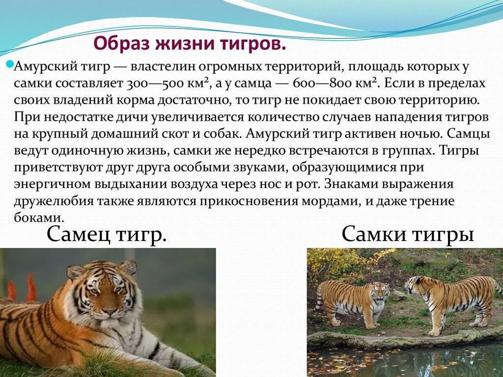 Особенности образа жизни и внешности длиннохвостой дикой кошки маргай
