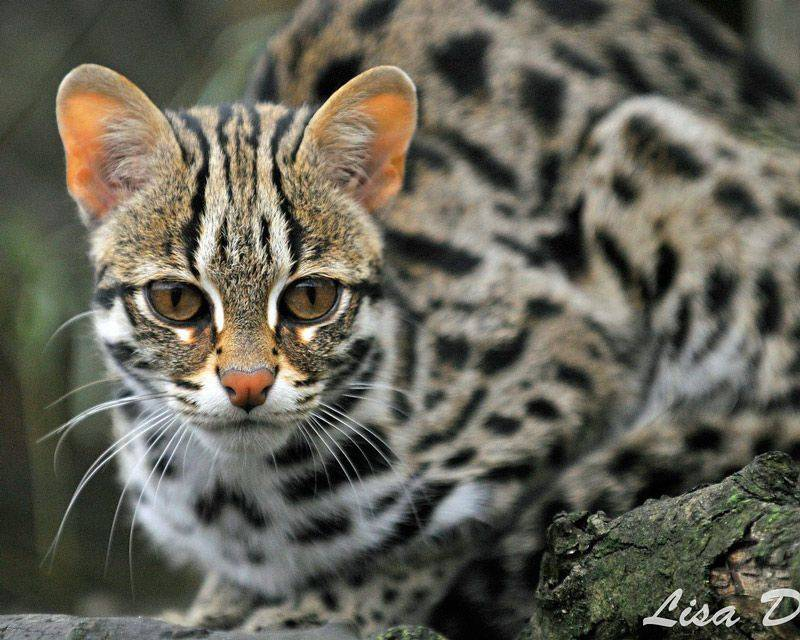 Леопардовая кошка: описание породы, характер, фото и цена | kotodom.ru