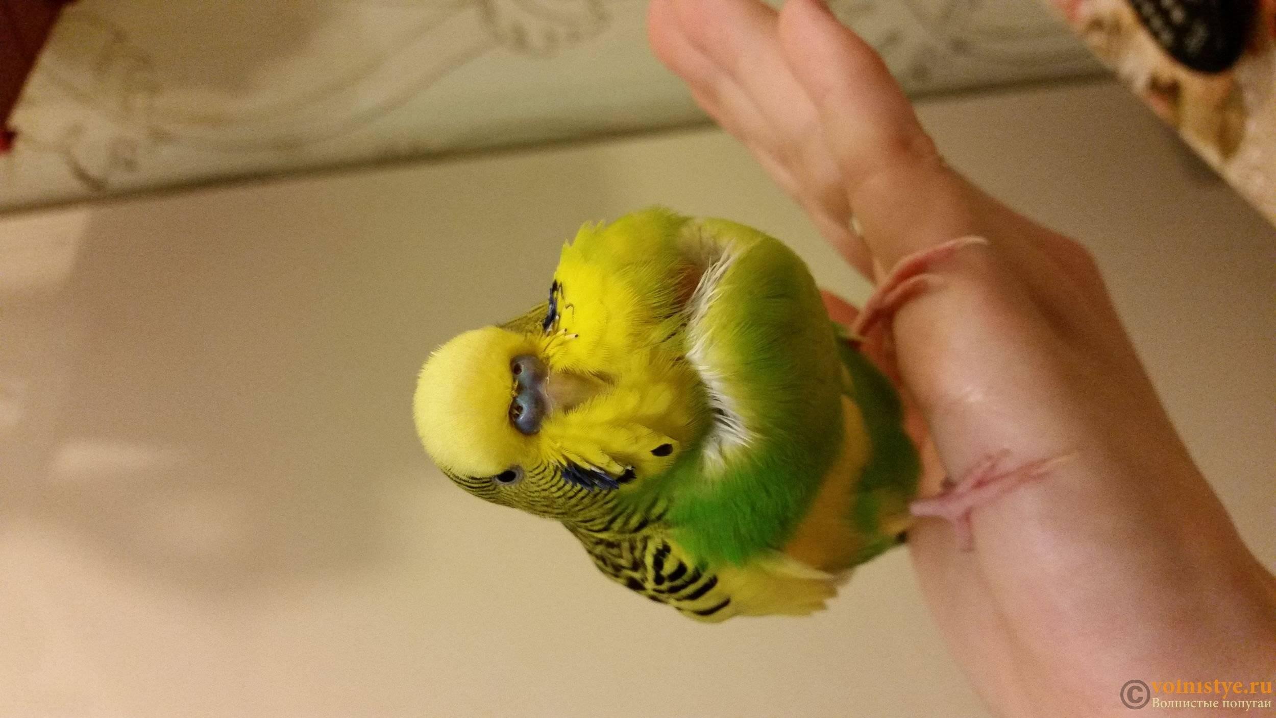 Как правильно и быстро научить волнистого попугая разговаривать
