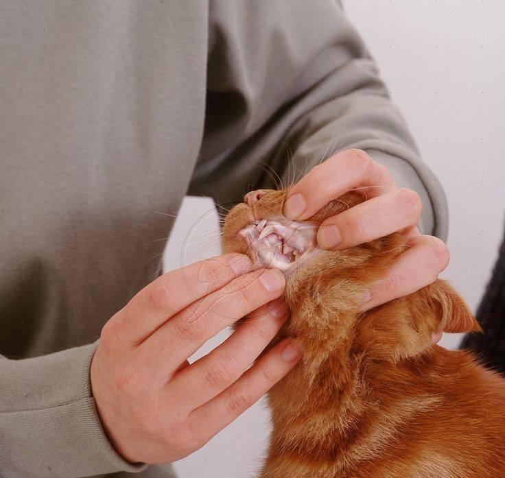 Анемия у кошек: разновидности заболевания и симптоматика
