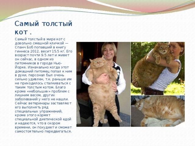 Самый толстый кот в мире по версии книги рекордов гиннесса с фото: сколько весит кошка-рекордсмен?