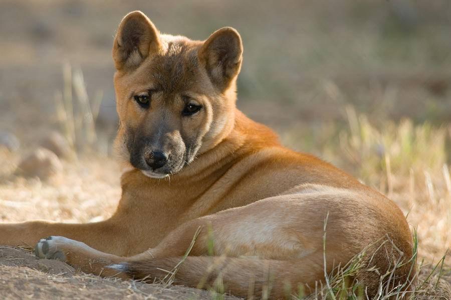 Новогвинейская поющая собака: содержание и уход