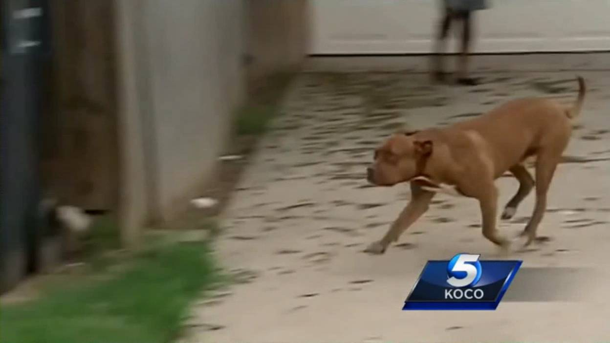 В каких странах запрещен питбуль. породы собак, запрещённые в англии и других странах. американский стаффордширский терьер