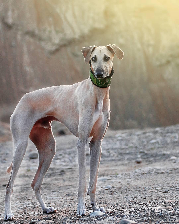 Афганская борзая: все о собаке, фото, описание породы, характер, цена