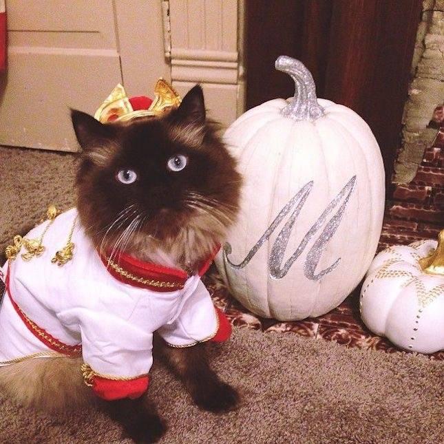 Одежда для кошки: сделать самому своими руками создаем наряды для питомцев