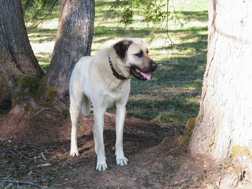 Турецкая собака кангал (анаталийский карабаш)