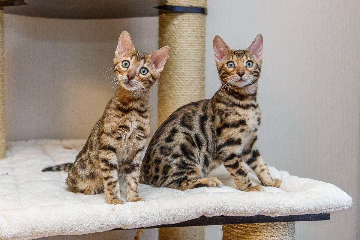 """Кошка бенгальская: описание породы и характера, здоровье, уход   блог ветклиники """"беланта"""""""