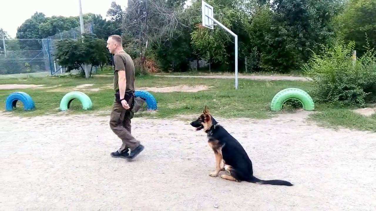 Окд для собак: описание курса и основных команд