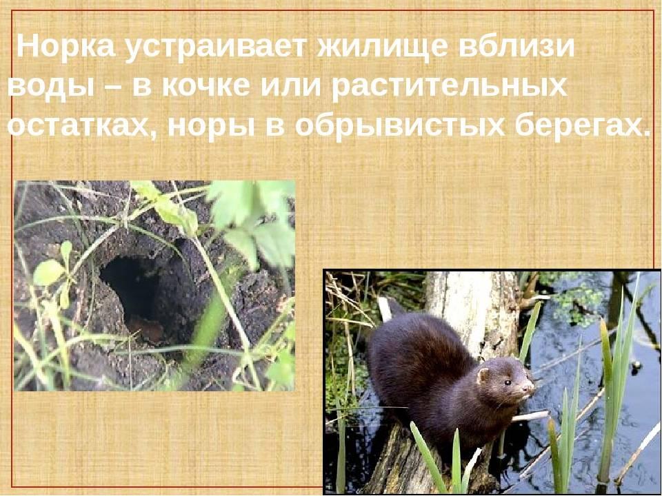 Норка: особенности ухода и содержания домашнего животного