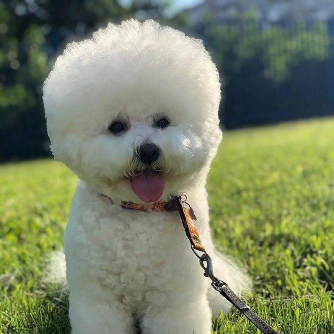 Болонки (64 фото): описание породы, белые и черные карликовые виды. как выглядят щенки? сколько живут мини-собаки?