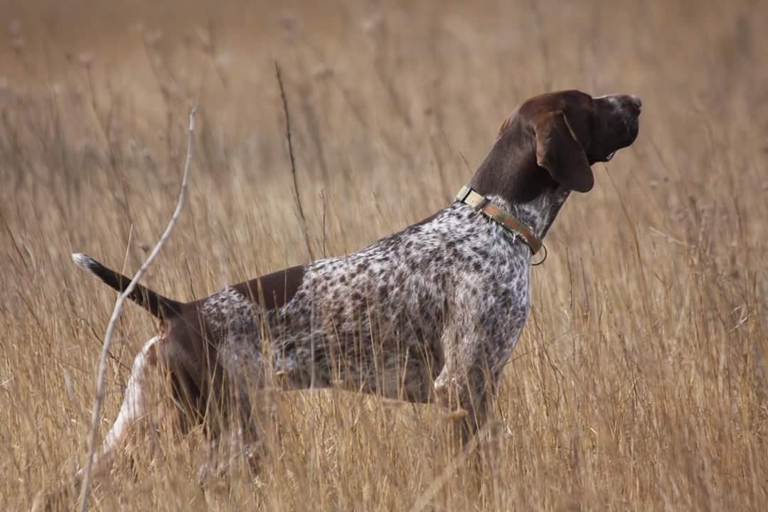 Порода собак курцхаар (немецкая короткошерстная легавая)