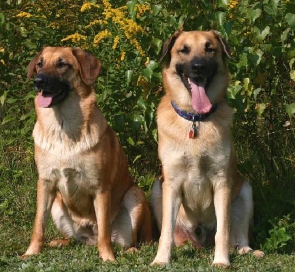 Сиба-ину: 140 фото описание породы и видео обзор очаровательной собаки