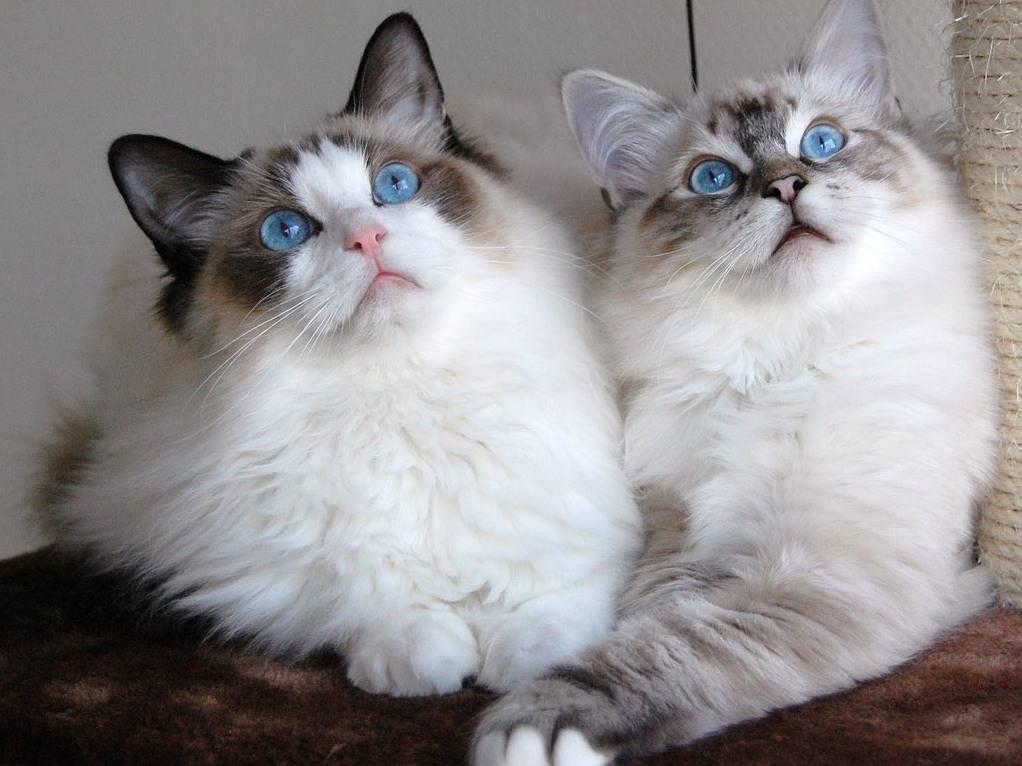 Самые добрые породы кошек для домашнего содержания