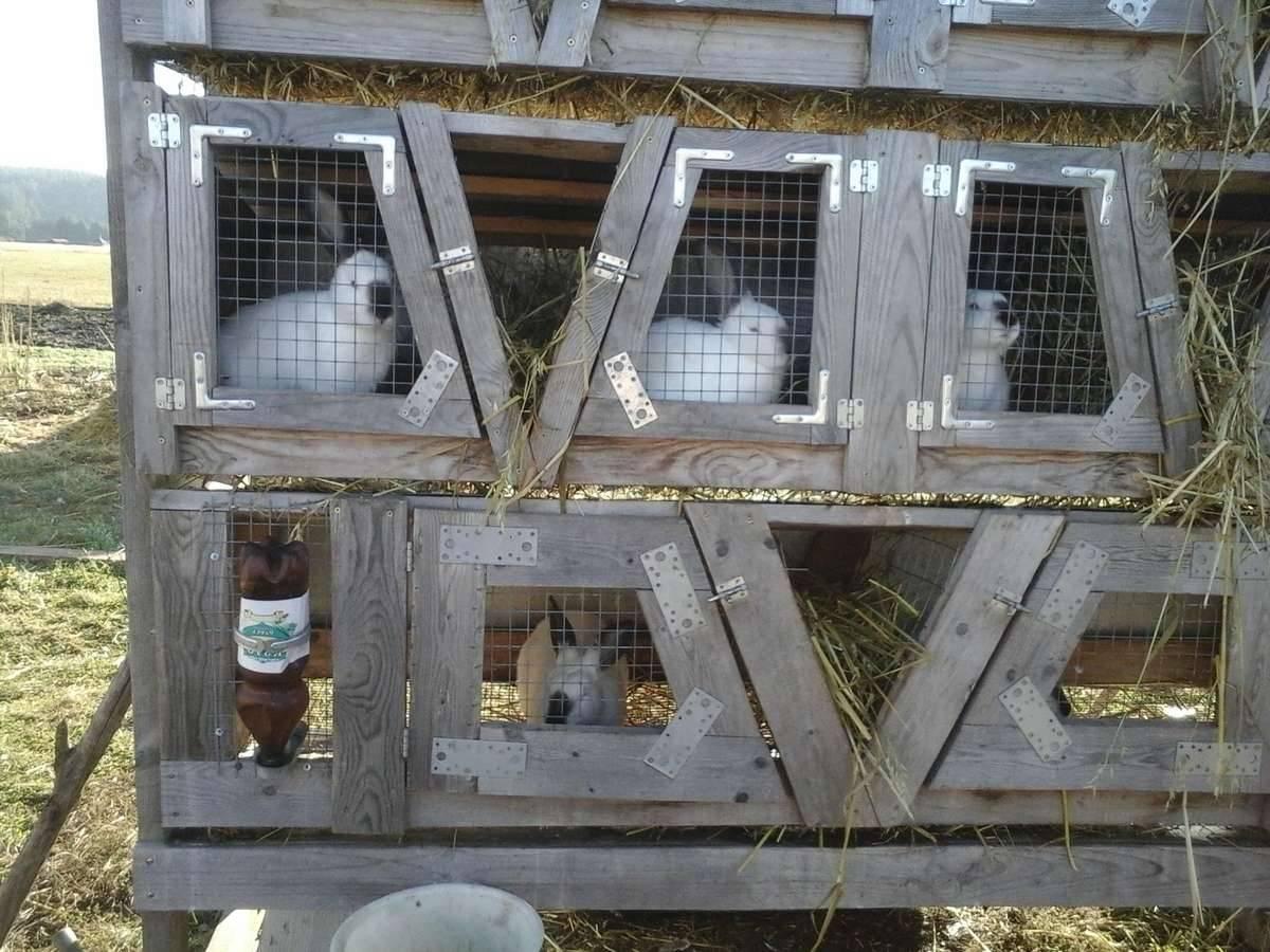 Разведение и содержание кроликов в домашних условиях для начинающих