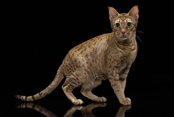 Оцикет (кошки и коты): описание породы, характер, отзывы, фото