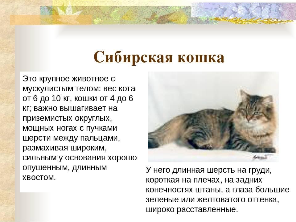 Кошки-сибиряки и всё самое интересное, что с ними связано!