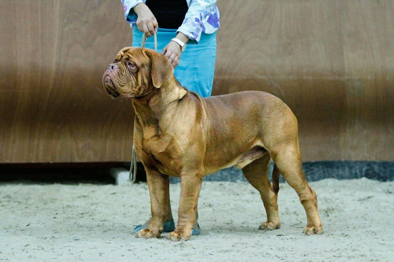 Бордосский дог собака. описание, особенности, уход и цена бордосского дога