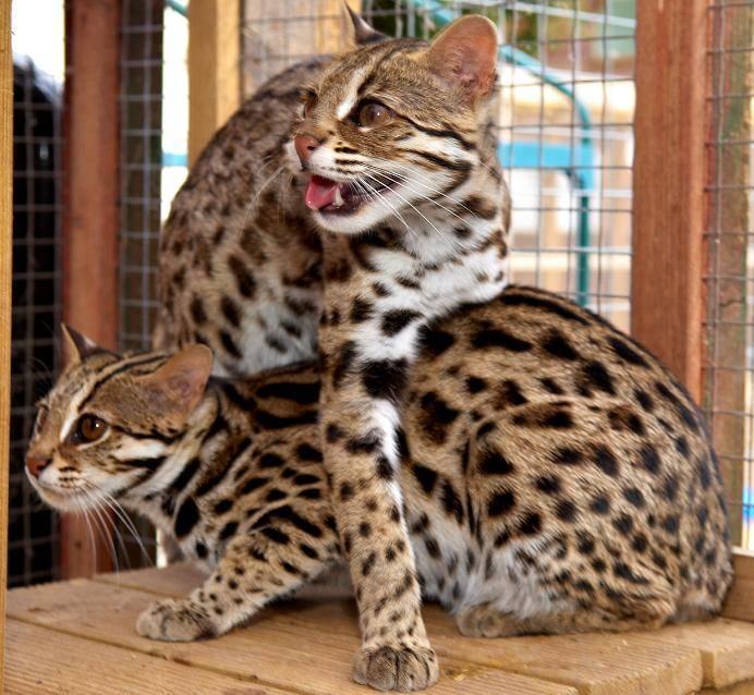 Дикая красавица леопардовая азиатская кошка