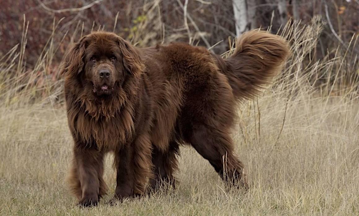 10 самых больших пород собак в мире