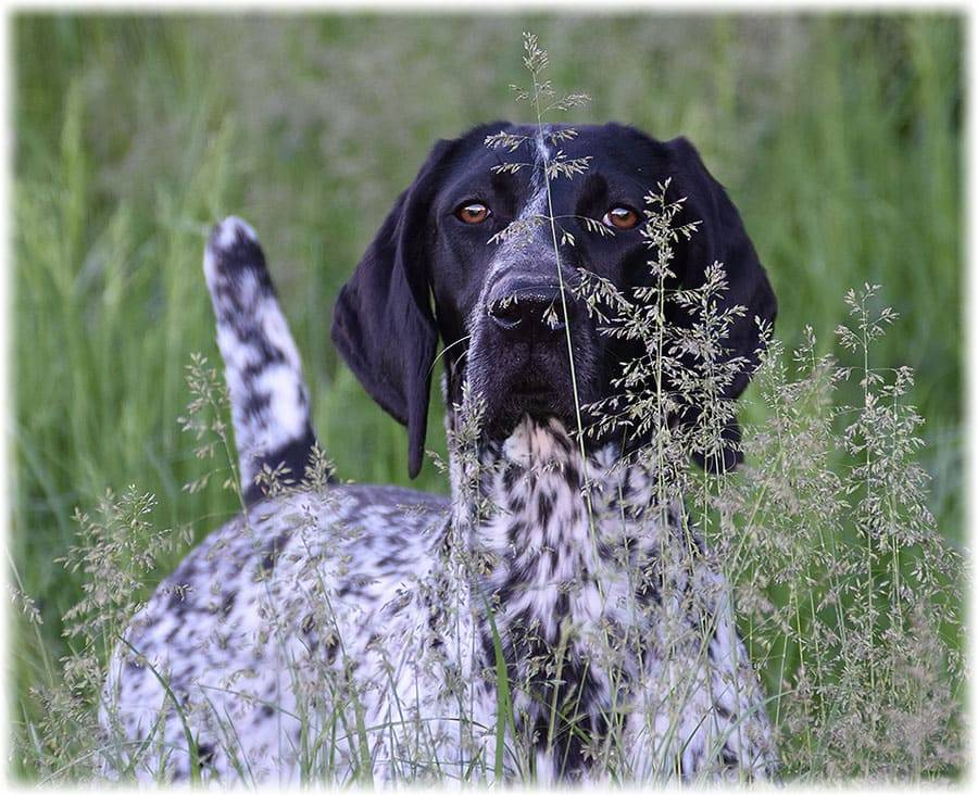 Курцхаар собака. описание, особенности, уход и цена курцхаара | sobakagav.ru