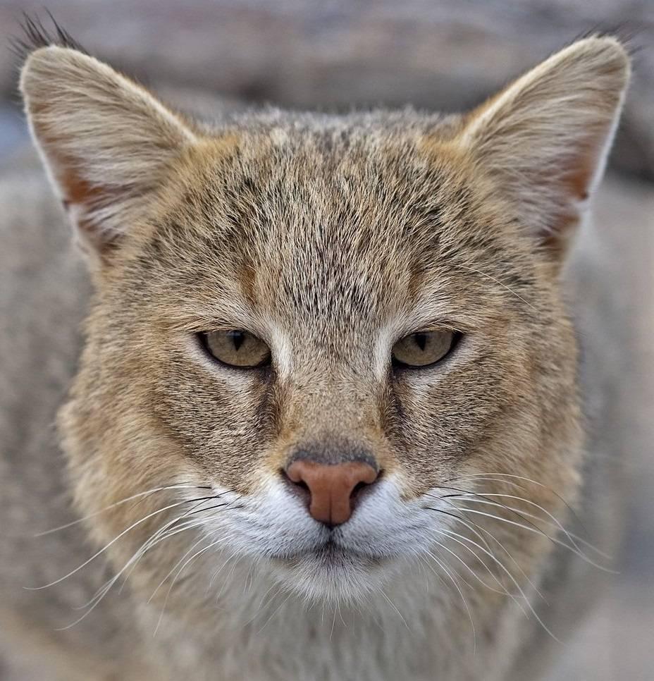 Камышовый кот ( хаус, болотная рысь)