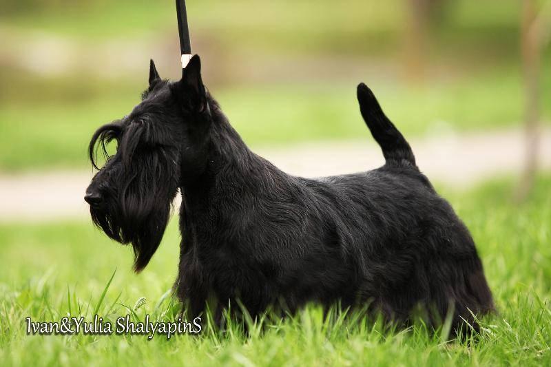 Обзор породы собак скотч терьер (шотландский терьер): стандарт, фото и отзывы