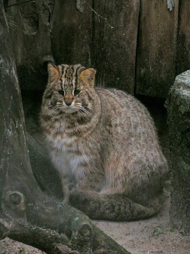 Дальневосточный лесной кот: загадка амурской земли