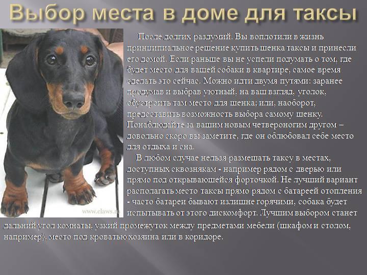 Собака такса: краткое описание породы, отзывы владельцев