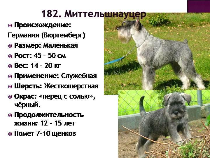 Миттельшнауцер: описание породы, характер собаки и щенка, фото, цена
