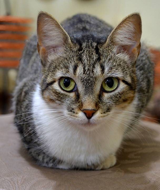 Бразильская короткошерстная кошка: описание породы с фото
