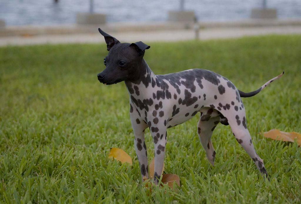 Американский голый терьер — фото, цена   dog-care - журнал про собак