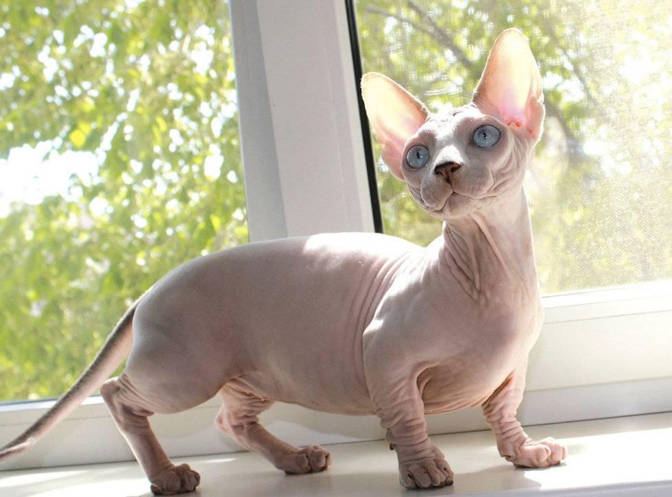 Кошки, не вызывающие аллергию