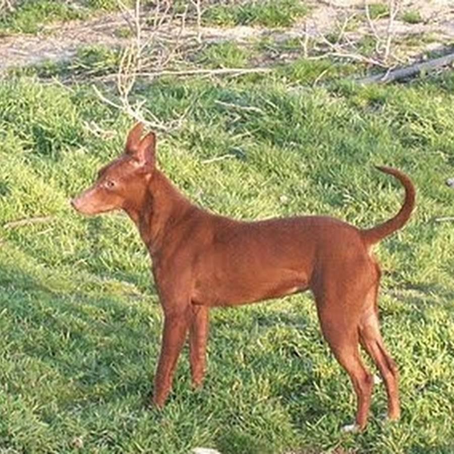 Канарский дог: фото и описание породы собак канарский дог: фото и описание породы собак