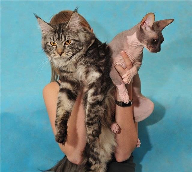 Какая порода кошек лучше подходит для детей - самая ласковая и ручная в квартиру