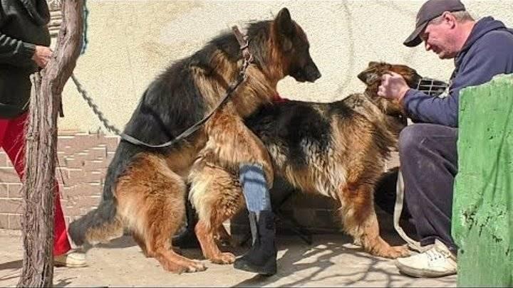 Как правильно организовать процедуру вязки или случки собак- обзор +видео