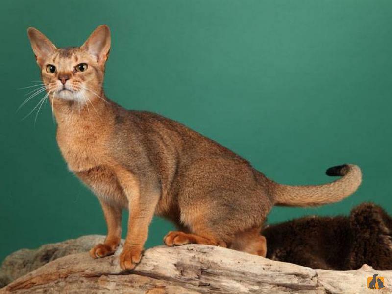 Цейлонская кошка: описание породы, фото и видео материалы, отзывы о породе