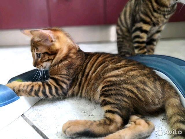 Кошки тойгер, описание, история породы, фото и цена в рублях за котят