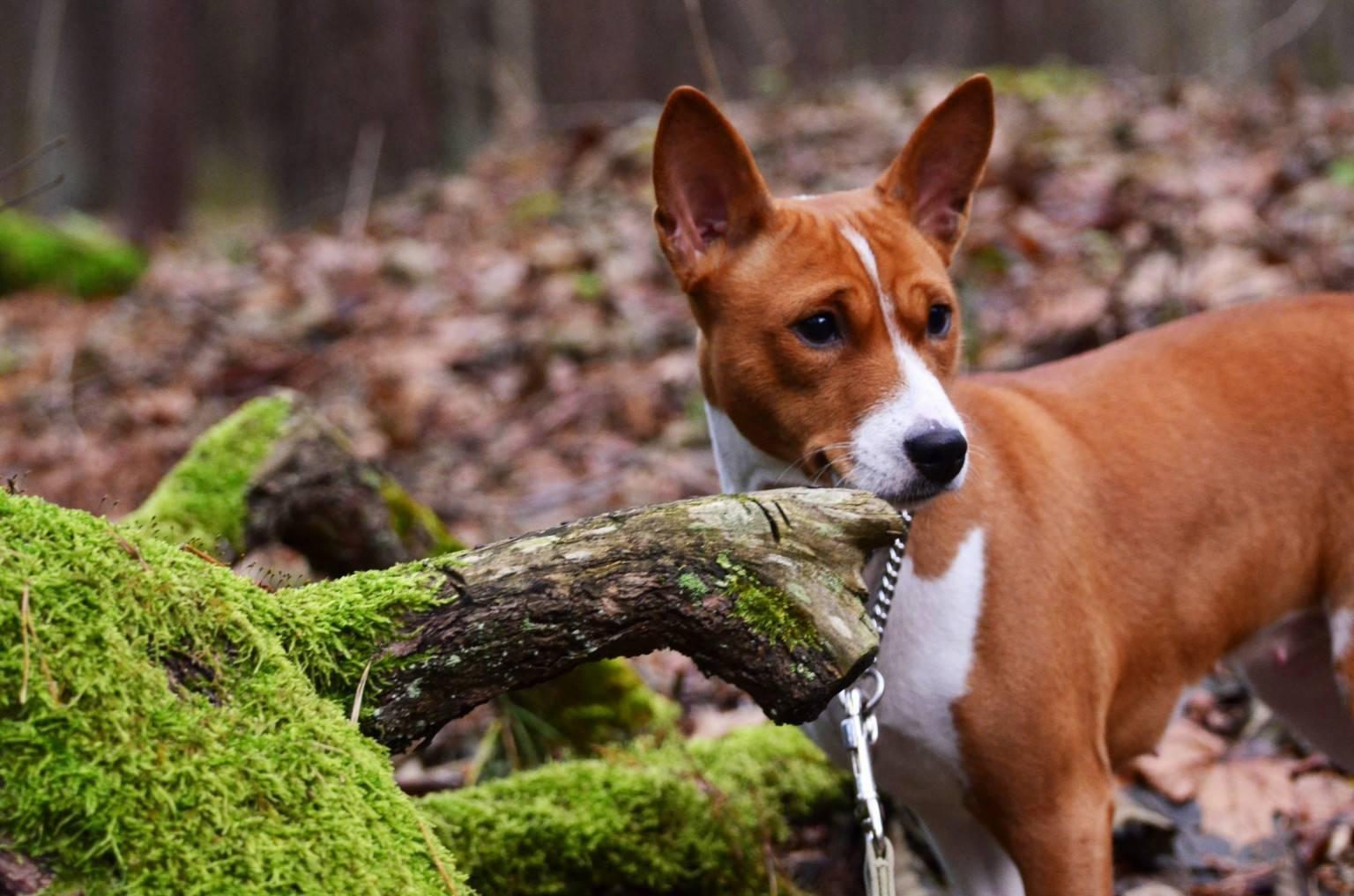 Самые опасные и агрессивные породы собак – топ-10 - большой рейтинг