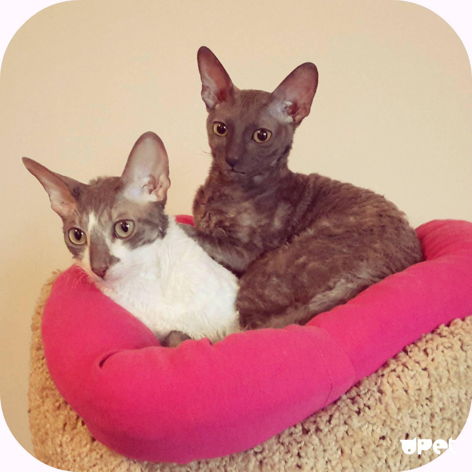 Kорниш-рекс - порода кошек - информация и особенностях | хиллс