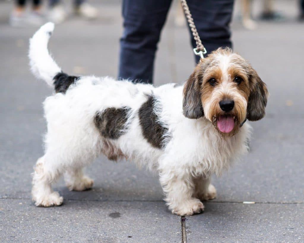 Вандейский бассет-гриффон собака. описание, особенности, характер, уход и цена породы | животный мир