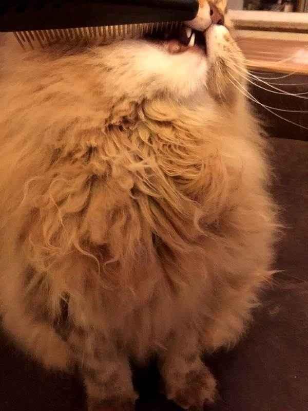 Колтуны у кошки: причины появления и как их убрать