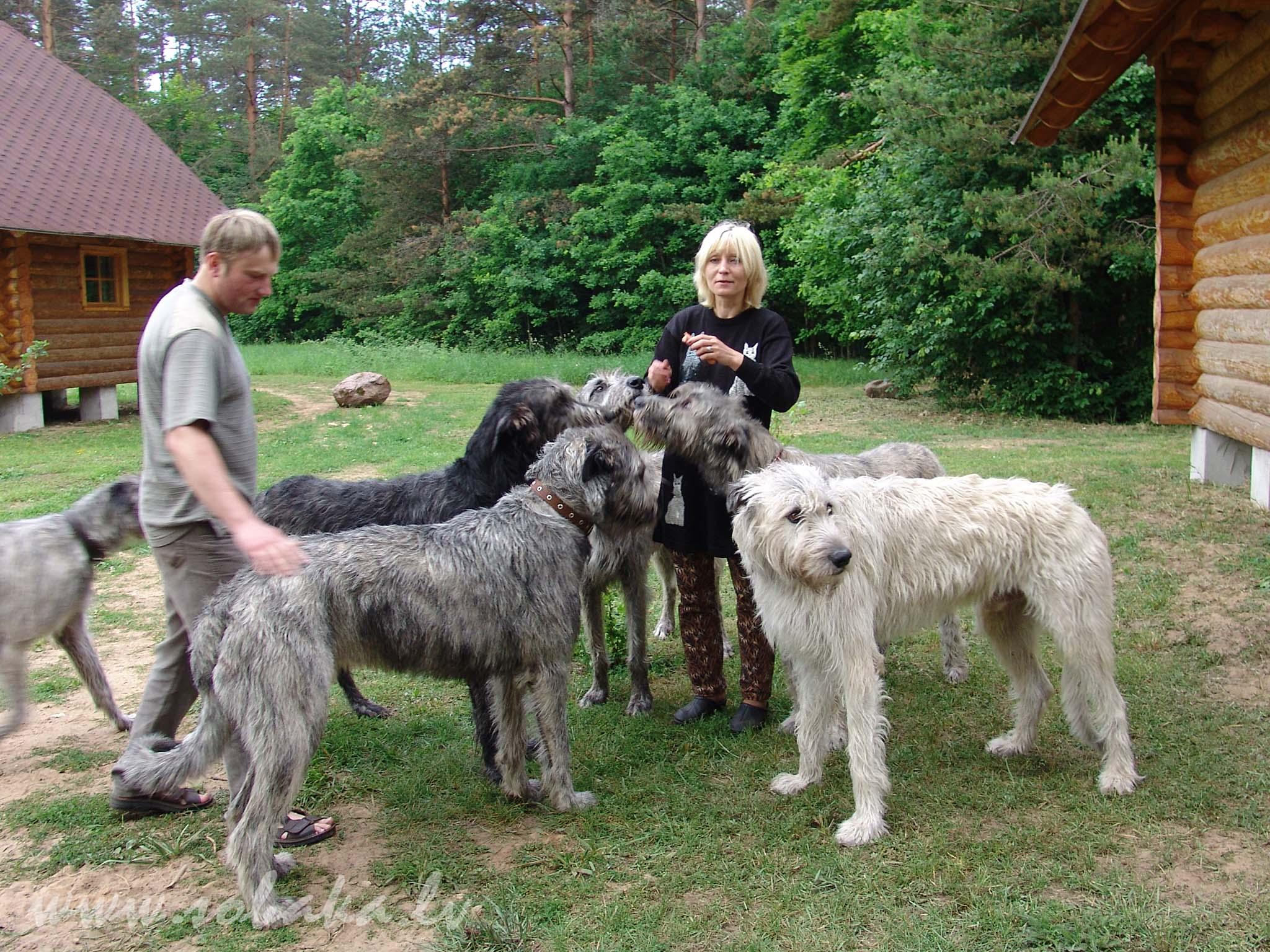 Русский вольфхунд: собака или волк?