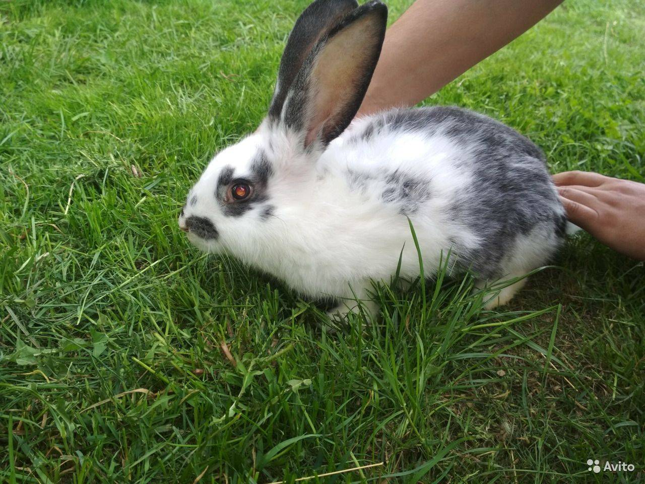 Кролик строкач: описание и характеристика породы