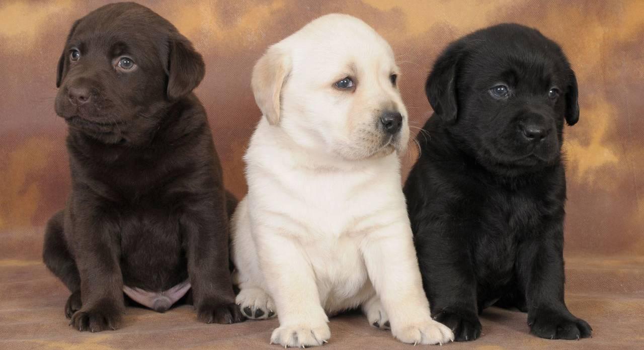 Как назвать лабрадора мальчика: список красивых имен для щенка.