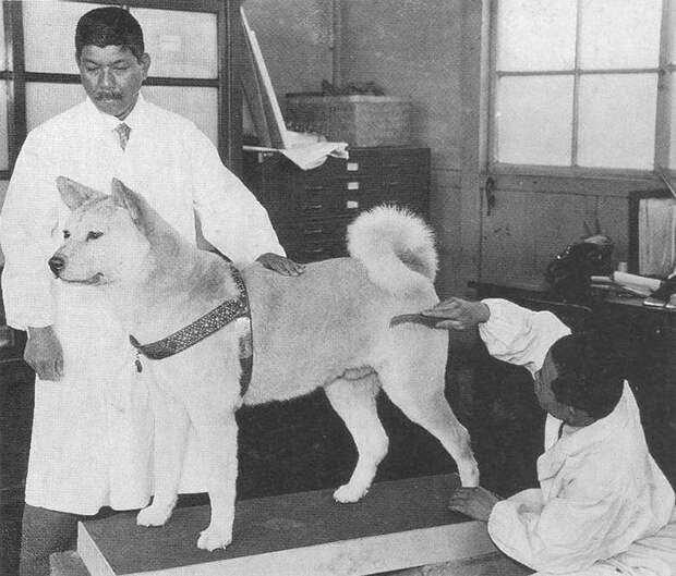 Хатико: порода собаки из фильма | фото, цена какая порода